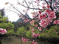伊江島の城山登山道 - 時期的には2,3月ならみれるのかな?