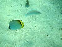 伊計島の大泊ビーチの海の中 - 完璧に餌付けされています