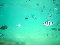 伊計島の大泊ビーチの海の中 - 餌付けしすぎ!?ってくらい生態系が壊れています