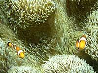 池間島の池間ブロックのクマノミたち - カクレクマノミは海底近くにいました
