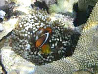 池間島の池間ブロックのクマノミたち - 珊瑚礁の奥深くにイソギンチャクが!?