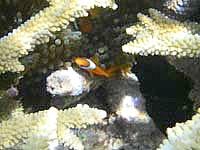 池間島の池間ブロックのクマノミたち - 珊瑚礁が多いのでなかなか見つからないかも?