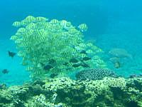 下地島の中の島の海中 - こんな感じの魚の群れも見れるかも?