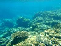 伊良部島のシンビジの海の中 - リーフエッジ近くは珊瑚が豊か