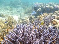 西表島のまるまビーチのインリーフ - 枝サンゴの根が多いです