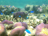 西表島のまるまビーチのインリーフ - 定番のルリスズメダイも望めます