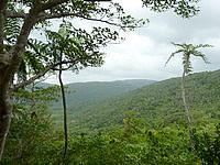 西表島のヤエヤマヤシ展望所 - ヤエヤマヤシはこの程度でした