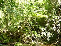 西表島のユツン川/ユチン川 - モダマのくるくる巻いたつたが印象的