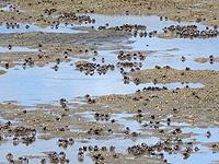 西表島の船浦湾の干潟 - ミナミコメツキガニの大群