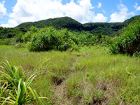 西表島のピナイサーラの滝への道 - マングローブを抜けると草原