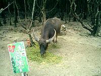 西表島の由布島 - 西表側では水牛が近くで見れます