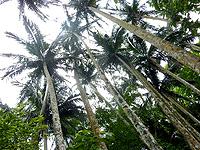 八重山列島 石垣島の米原のヤエヤマヤシ群落の写真
