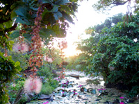 石垣島のたふく農園/田福農園 - サガリバナと池の光景