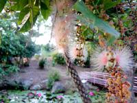 石垣島のたふく農園/田福農園 - 石垣市街近くで一番のサガリバナ名所