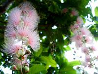 石垣島のたふく農園/田福農園 - 6月末から7月初旬が見頃
