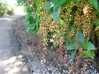 石垣島の平久保サガリバナ群落 - サガリバナの数はかなりのもの!