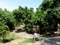 石垣島の平久保サガリバナ群落 - 並木道もあるみたい