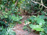 石垣島の山原海岸/ヤマバレビーチ - かなりうっそうとした林を抜けます