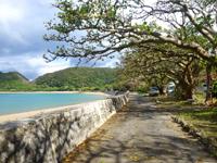 加計呂麻島の諸鈍長浜のディゴの並木 - 最近は台風などの影響で枯れたものも多い