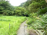 加計呂麻島の武名ガジュマル - 集落を抜けたさらに先にあります