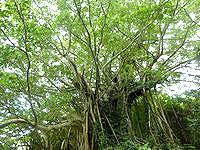 加計呂麻島の武名ガジュマル - 大きなガジュマルが奄美には多い!