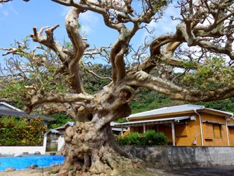 加計呂麻島の阿多地集落/巨大デイゴ/夫婦デイゴ/アシャゲ「阿多地集落内にある大きなデイゴ」