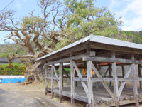 加計呂麻島の阿多地集落/巨大デイゴ/夫婦デイゴ/アシャゲ - デイゴの隣にアシャゲという小屋?