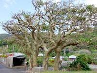 加計呂麻島の阿多地集落/巨大デイゴ/夫婦デイゴ/アシャゲ - 夫婦デイゴのあるらしい