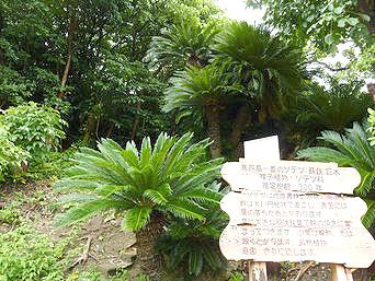 ソテツ巨木