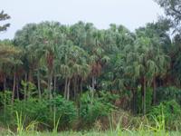 北大東島の中野のビロウ林