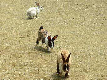 嘉弥真島のウサギ