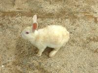嘉弥真島の嘉弥真島のウサギ - レストハウスには多くのウサギが来る