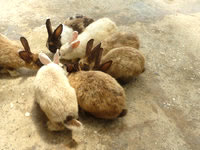 嘉弥真島の嘉弥真島のウサギ - 餌をくれるから来るウサギたち