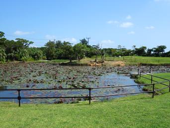 小浜島の水牛池(はいむるぶし敷地内)「フロント棟の先にあります」
