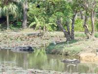 小浜島の水牛池 - 水牛さんが池の中で休んでいます