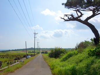 小浜島のシュガーロード/ちゅらさんロケ地「シュガーロードと言えばこの一本松」
