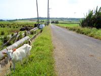 小浜島のシュガーロード/ちゅらさんロケ地 - ヤギがいる場所もあってほのぼのしています