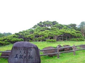 久米島の五枝の松「枝が左右に広く伸びています」