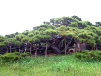 久米島の五枝の松 - さすが国の天然記念物
