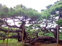 久米島の五枝の松 - 参拝用?の通路があります