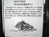 久米島の五枝の松 - 説明書きが高台側にあります