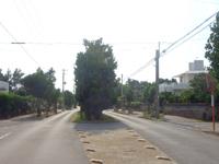 久米島のチュラフクギ - 道路のど真ん中にあるフクギ林