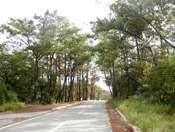 久米島の松林「久米島西側には松林が多かった」