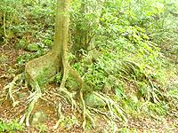 久米島のだるま公園登山道 - サキシマスオウノキっぽい