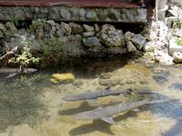 黒島の黒島研究所 - 庭に池に鮫がいる・・・