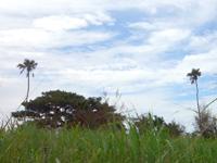南大東島の新双子ビロウ - 結構いい感じの2本のビロウです
