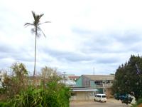 南大東島の親子ビロウ - 集落内にあるビロウ