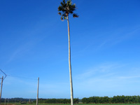 南大東島の双子のビロウ - 片方は枯れて伐採されました