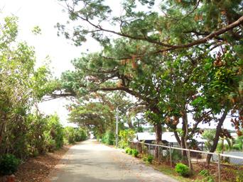 南大東島のリュウキュウマツ並木