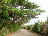 南大東島のリュウキュウマツ並木 - 市街地の中とは思えない雰囲気